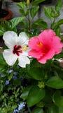 rosa white Royaltyfri Bild