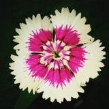 rosa white royaltyfri fotografi