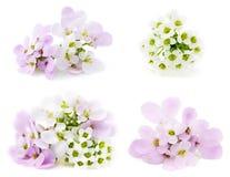rosa white för blommor Fotografering för Bildbyråer