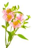 rosa white för blommor Arkivfoto