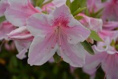 rosa white för blommor Arkivfoton