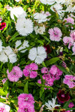 rosa white för blommor Arkivbilder