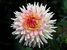 rosa white för dahlia Royaltyfri Foto