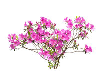 rosa white för liljar Arkivbild