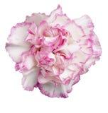 rosa white för nejlika Arkivfoto