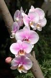 rosa white för orchids fotografering för bildbyråer