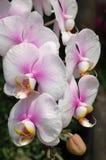rosa white för orchids arkivbilder