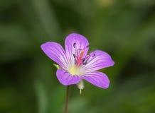 Rosa Wiesenblume Stockbild