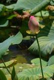 rosa wild för lotusblomma Arkivbild