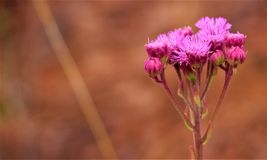 Rosa wilde Blume gegen einen warmen braunen gesprenkelten Hintergrund stockbild