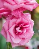 Rosa wilde Rose - schöne Blumenanlage Rosa stockbilder