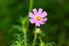 Rosa Wildflower, der sich vor kurzem für Geschäft öffnete Lizenzfreies Stockbild