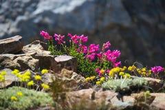 Rosa Wildflowers auf einer Spur in Yosemite Nationalpark lizenzfreie stockbilder