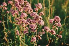 Rosa Wildflowers bei Sonnenuntergang Stockfotografie