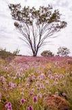 Rosa Wildflowers Mulla Mulla, die im australischen Hinterland blühen lizenzfreie stockfotos