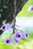 Rosa Wildorchidee Stockfotos