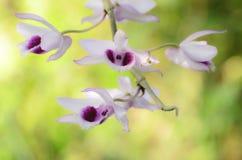 Rosa Wildorchideenblumen Stockbild