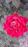 rosa Wzrastał kwiatu Zdjęcia Royalty Free