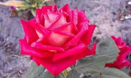 rosa Wzrastał kwiatu Obraz Royalty Free