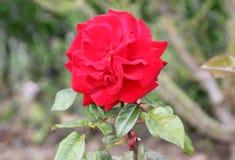 Rosa 'Crimson Bouquet' Royalty Free Stock Images