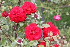 Rosa 'Crimson Bouquet' Stock Image