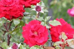 Rosa 'Crimson Bouquet' Royalty Free Stock Photos
