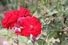 Rosa 'Crimson Bouquet' Royalty Free Stock Photo
