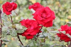 Rosa 'Crimson Bouquet' Royalty Free Stock Photography