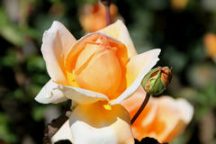 Rosa 'Just Joey' Royalty Free Stock Photography