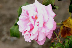 Rosa 'Memorial Day' Royalty Free Stock Images