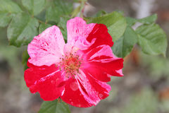 Rosa 'Wekroalt' Fourth of July Stock Photos