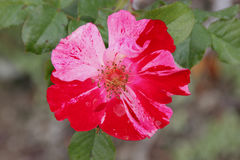 Rosa 'Wekroalt' Fourth of July Stock Photography