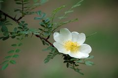Rosa xanthina. A Rosa Xanthina flower blossom in spring royalty free stock photo