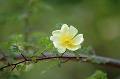 Rosa xanthina. Flower blossom in spring stock photo