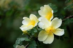 Rosa xanthina. Flowers blossom in spring royalty free stock photos