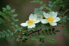 Rosa xanthina. Flowers blossom in spring royalty free stock photography