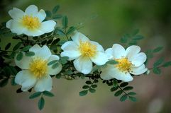 Rosa xanthina. Flowers blossom in spring stock photo