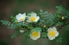 Rosa xanthina. Flowers blossom in spring royalty free stock images
