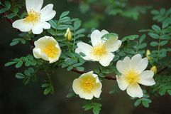 Rosa xanthina. Flowers blossom in spring royalty free stock photo