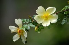 Rosa xanthina. Flowers blossom in spring stock photography