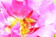 Rosa y abeja del rosa Fotografía de archivo libre de regalías