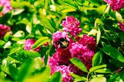 Rosa y abejorro del rosa Foto de archivo libre de regalías