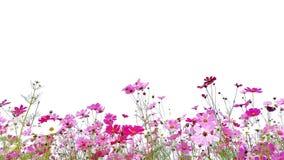 Rosa y aster mexicano del jardín rojo fotografía de archivo