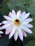 Rosa y blanco de Lotus Imágenes de archivo libres de regalías