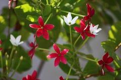 Rosa y blanco en una rama Fotos de archivo libres de regalías