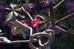 Rosa y flor roja en obesum del Adenium del jardín foto de archivo