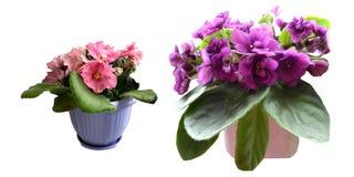 Rosa y flor violeta púrpura en el pote aislado en el fondo blanco imagenes de archivo