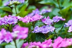Rosa y flores púrpuras en jardín imagen de archivo