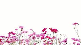 Rosa y flores rojas del cosmos del jardín aislados en el fondo blanco imagenes de archivo