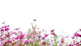 Rosa y flores rojas del cosmos del jardín fotografía de archivo